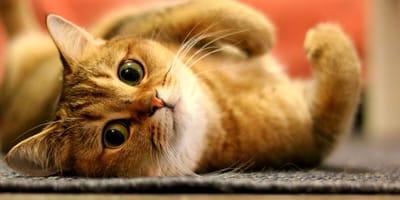 gato naranja mirando fijamente
