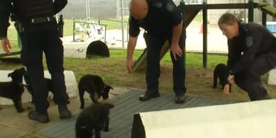 black german shepherd puppies and police officers