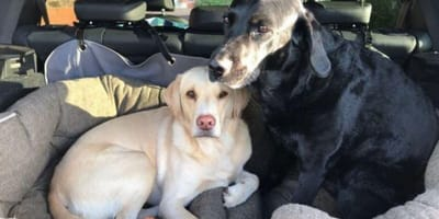 yellow and black Labradors