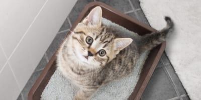 Cómo enseñar a un gato a ir al baño: trucos para que tu minino empiece a usar el arenero