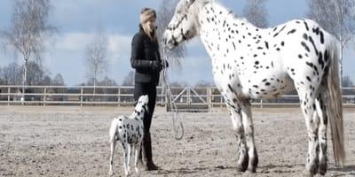 Dálmata ve un caballo igualito a él y se quiere morir de felicidad
