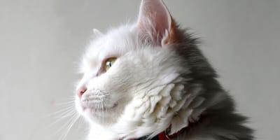 Gato Maine coon blanco  cara