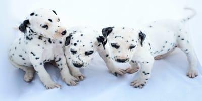 perros dálmata bebé