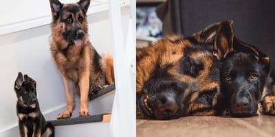 german shepherd puppy and adult