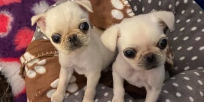 Animal shelter needs donations to help save adorable Pug brothers