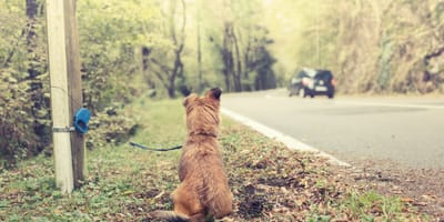 dog tied to pole, car drives away on road