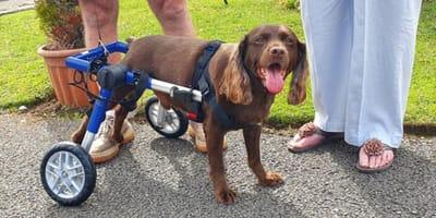 borwn spaniel in wheelchair