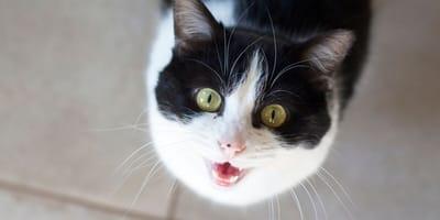 gato blanco y negro maulla