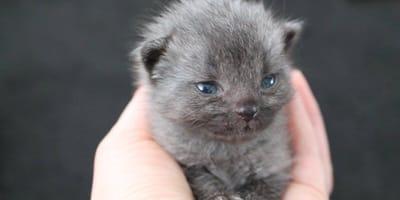 gatito gris ojos azules