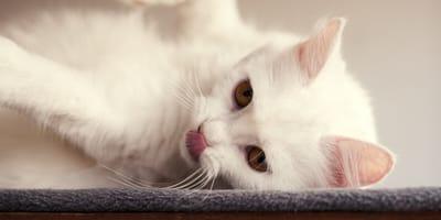 <p>Mały kotek bacznie obserwuje dłoń opiekuna...</p>