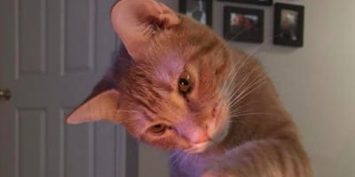 A ginger cat stares at a lit candle