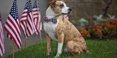 Ein Hund neben einer amerikanischen Flagge