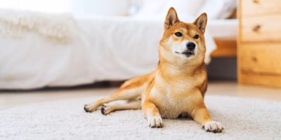 Shiba Inu dog in a bedroom