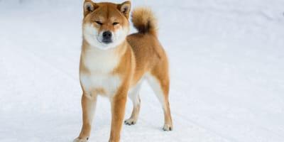 10 incredible Japanese dog breeds