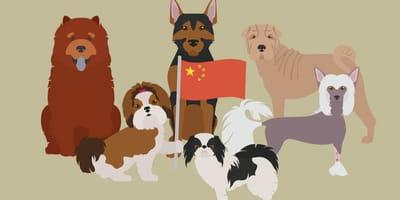 Razze di cani cinesi: dalle lingue blu alle criniere da leone