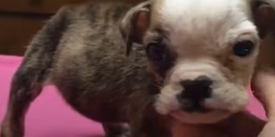 """Se la venden como """"mini bulldog"""": al mirar más de cerca descubre una verdad escalofriante"""