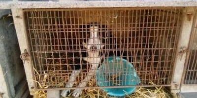 Pies przez dwa lata żyje w klatce dla królików. Ale wolontariusz, który go uwalnia trafia do aresztu