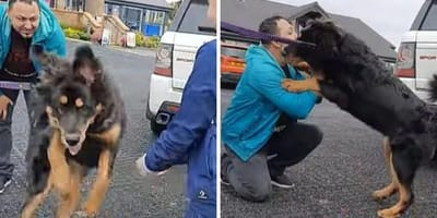 tibetan mastiff playing with man wearing blue jacket