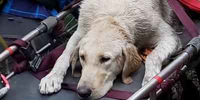 Labrador na noszach