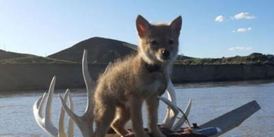 Coyote puppy on a canoe