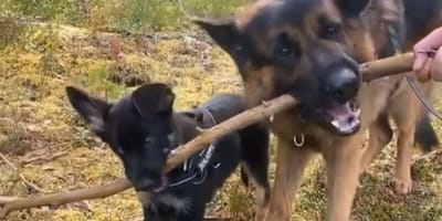 pastor aleman educa a cachorro