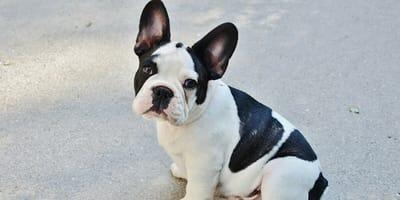 French bulldog close up