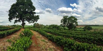 Kostaryka: mężczyzna zagląda do worka porzuconego na plantacji kawy i nie wierzy własnym oczom