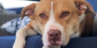 Ciężarna suczka rasy pitbull miała zostać uśpiona. Wtedy jej życie zmieniło się o 180 stopni!