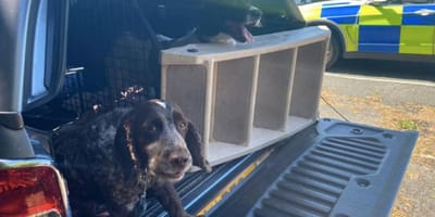 two spaniel type dogs in trunk of car