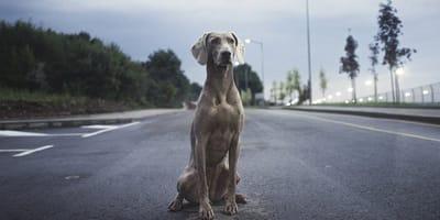 cane-in-autostrada