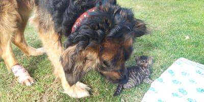 Kotek i owczarek niemiecki.