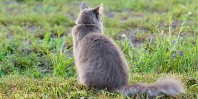 Tył szarego kota.