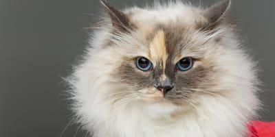 Koty długowłose – poznaj 10 najpopularniejszych ras!