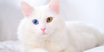 Heterocromía en gatos: ¿por qué algunos gatos tienen los ojos de dos colores?