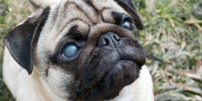 Bulldogge leidet an grünem Star