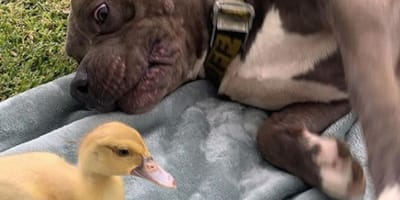 Dog and duck have the cutest friendship