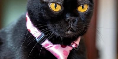 Black cat with white eyebrows