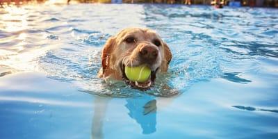 Golden retriever  pływający w basenie