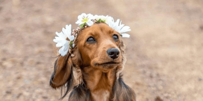 perro salchicha posando
