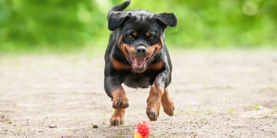 Rottweiler juega cen el jardin