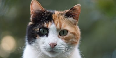 gatto calico in primo piano