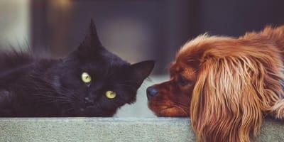 Black cat and spaniel