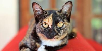Gatos calicó, carey y atigrados: ¿Qué tienen de especial los gatos tricolor?