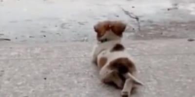 Little dog lying outside observing the rain