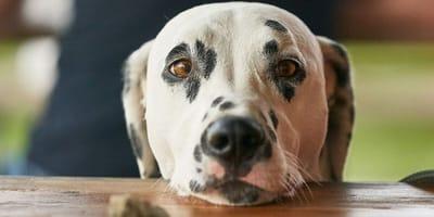 Cómo enseñarle a un perro a dejar de pedir comida