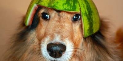 Una cosecha de sandías trae de cabeza a estos perros: no podrás parar de reír