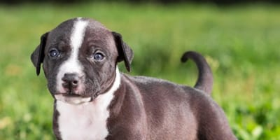 American-Staffordshire-Terrier-Welpe