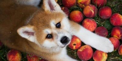 Akita Inu mit Pfirsichen
