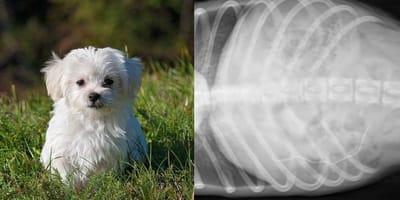 cucciolo bianco sull'erba / radiografia cane