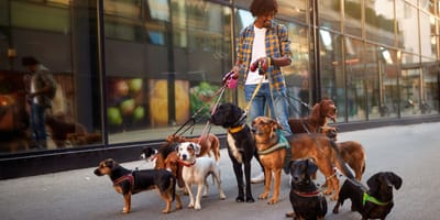 Dog walker with a bunch of dogs on their leads